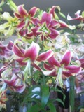 Ogrody, zdjęcia lilii, lilie w ogrodzie, pielęgnacja lilii