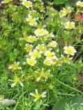 limnantes, zdjęcia roślin