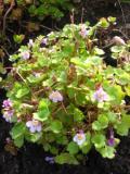 lnica bluszczykowata, zdjęcia roślin