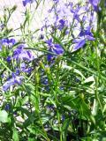 lobelia, zdjęcia roślin