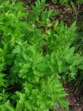 ogr�d u�ytkowy , ro�liny przyprawowe , ro�liny  zielarskie i lubczyk, uprawa lubczyka