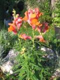 lwia paszcza,wyżlin,, zdjęcia roślin, rośliny na literę w
