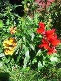 kwiaty, rośliny jednoroczne, lwia paszcza wyżlin