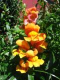 kwiaty ogrodowe, kwiaty łatwe w uprawie, kwiaty jednoroczne, wyżli lwia paszcza