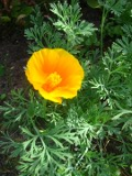 maczek kalifornijski, pozłotka, eszolcja, zdjęcia roślin, galeria roślin