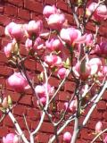 magnolia pośrednia, zdjęcia rośliny