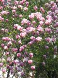 drzewa liściaste trudniejsze w uprawie, drzewa do ogrodu, ogrodowe drzewe,  dekoracyjne drzewa, magnolia pośrednia
