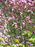 drzewa liściaste magnolia purpurowa
