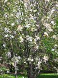 Ogrodnik-amator, opis rośliny, Magnolia gwiaździsta, Magnolia stellata, Star magnolia, uprawa magnolii gwiaździstej, opis rośliny, krzewy trudniejsze w uprawie, krzewy liściaste, krzewy ozdobne, galeria krzewów, rośliny na wiosnę, drzewa do wiosennego ogrodu,  krzewy o dekoracyjnych kwiatach