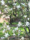 magnolia gwiaździsta, zdjęcia rośliny