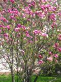 magnolia purpurowa, zdjęcia rośliny