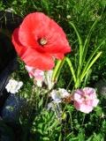 mak polny, zdjęcia roślin