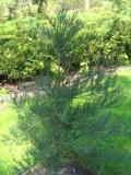 mamamutowiec olbrzymi, galeria roślin