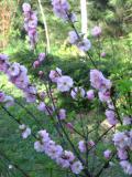krzewy ogrodowe, krzewy łatwe w uprawie, krzwy liściaste, migdałek, migdałowiec trójklapowy