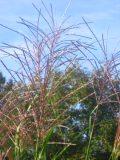 Ogrodnik-amator, opis rośliny, Miskant chiński Zebrinus łac. Miscanthus sinensis Zebrinus ang. Zebra grass uprawa miskanta zebrinus, opis rośliny, trawy wieloletnie, byliny, trawy ozdobne, trawa w paski