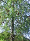 drzewa iglaste modrzew europejski