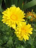 kwiaty ogrodowe, kwiaty łatwe w uprawie, kwiaty jednoroczne, nagietek, nagietki