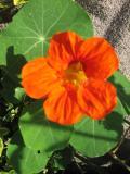 nasturcja, galeria roślin ogrodowych, zdjęcia rośliny