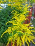 nawłoć ogrodowa, zdjęcia roślin