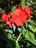 niecierpek nowogwinejski, galeria roślin