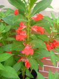 niecierpek balsamina, zdjęcia, galeria roślin
