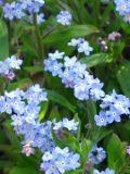 kwiaty ogrodowe, kwiaty łatwe w uprawie, kwiaty dwuletnie, niezapominajki