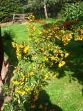 Ogrodnik-amator, opis rośliny, Ognik szkarłatny, Pyracantha coccinea, Firethorn, uprawa ognika szkarłatnego,  Krzewy łatwe w uprawie, krzewy trudniejsze w uprawie, krzew półzimozielony