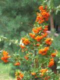 ognik szkarłatny,  zdjęcia roślin