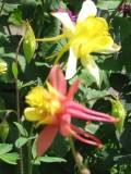 Ogrody, zdjęcia orlik, orliki,  kwiat, orliki w ogrodzie