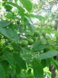 DRZEWA liściaste ORZECH WŁOSKI