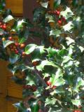 ostrokrzew, galeria roślin, zdjęcia, rośliny na literę s