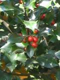 krzewy ogrodowe, krzewy trudniejsze w uprawie, krzewy liściaste, ostrokrzew kolczasty