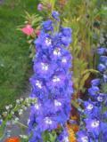 ostróżka ogrodowa, galeria roślin