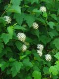 pęcherznica kalinolistna, galeria roślin