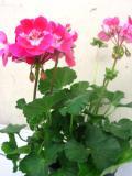 pelargonia pasiasta, galeria roślin