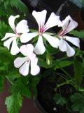 pelargonia bluszczolistna, galeria roślin
