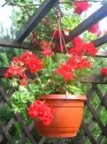 Ogrody, zdjęcia pelargonia BLUSZCZOLISTNA, pelargonia  w ogrodzie
