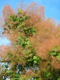krzewy ogrodowe, krzewy łatwe w uprawie, krzewy liściaste, perukowiec podolski