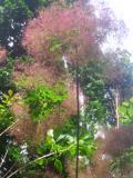 Ogrody, zdjęcia perukowiec podolski, perukowiec podolski w ogrodzie