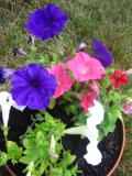 petunia, zdjęcia roślin