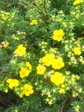 Ogrodnik-amator, opis rośliny, Pięciornik krzewiasty,  Potentilla fruticosa, Ogrodnik-amator. uprawa pięciornika krzewiastego, opis rośliny, pięciornik w ogrodzie