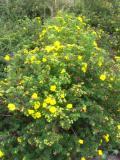 krzewy ogrodowe, krzewy łatwe w uprawie, krzewy liściaste, pięciornik krzewiasty