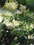krzewy ogrodowe, krzewy trudniesze w uprawie, krzewy zimozielone, pieris kwiecisty