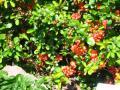 rośliny krzewy , pigwowiec