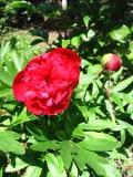 piwonia lekarska, zdjęcia rośliny, galeria roślin