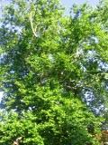 platan klonolistny, zdjęcia rośliny