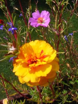 kwiaty ogrodowe, kwiaty łatwe w uprawie, kwiaty jednoroczne, portulaka