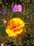 Ogrody, zdjęcia portulaki, portulaka  w ogrodzie