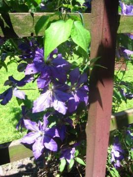kwiaty do ogrodu, pnącza wieloletnie łatwe w uprawie, pnącza do ogrodu, pnącza ogrodowe