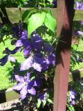powojnik_clematis jackmana, zdjęcia rośliny